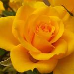 Rosa gialla 2