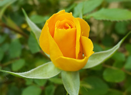 Rosa gialla